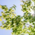 Der Klimabaum für Ihren Garten